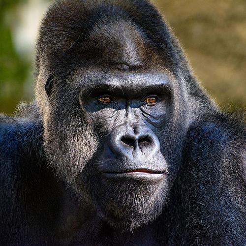gorillas-ebola-head